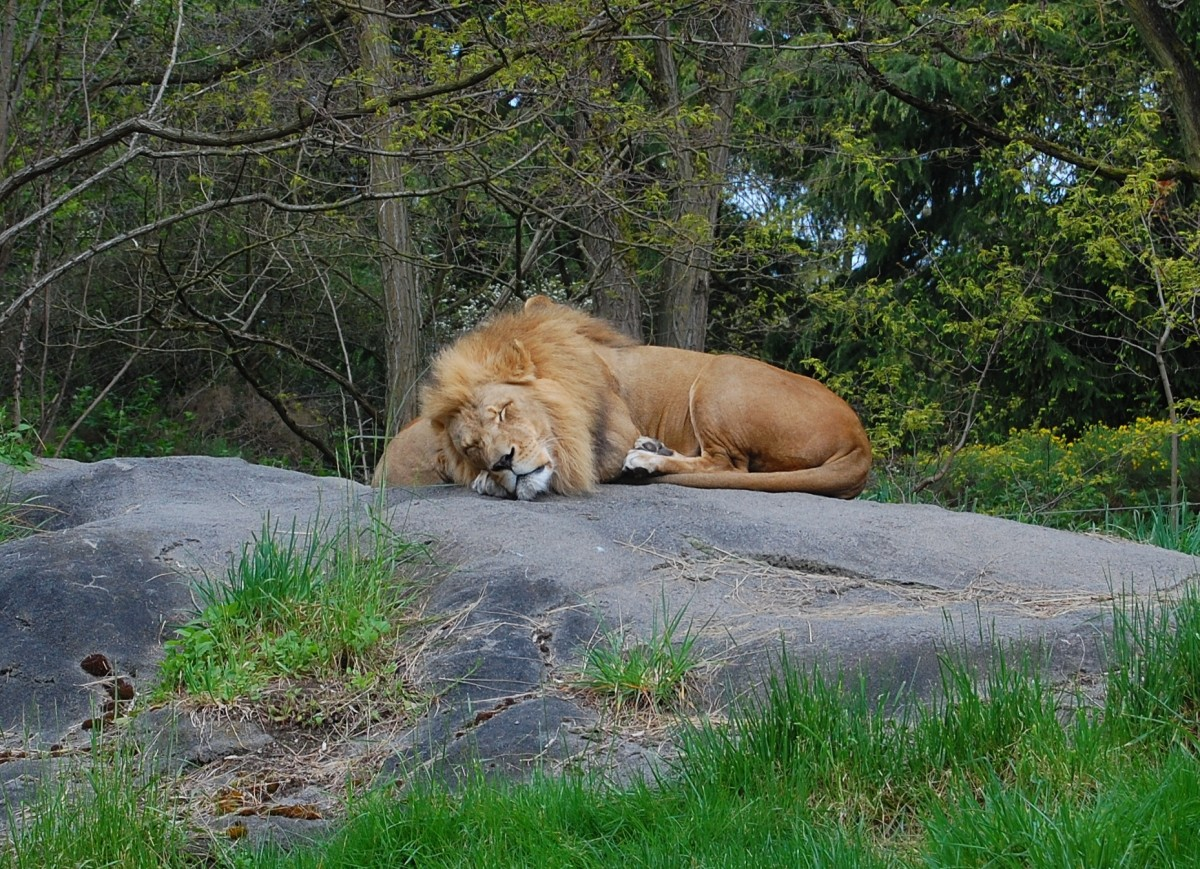 Lion sleeping at the Woodland Park Zoo in Seattle