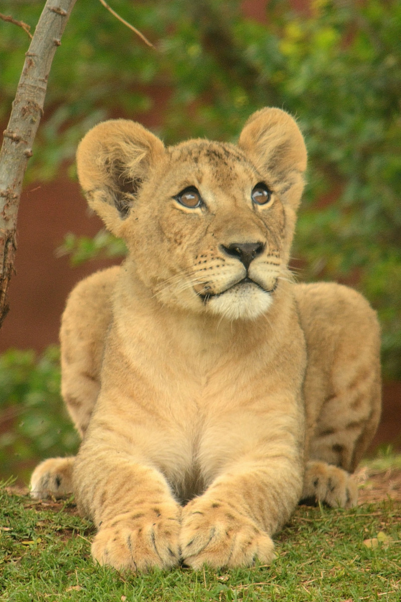 A lion cub at the Honolulu Zoo