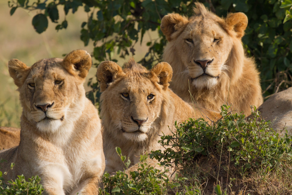 Portrait of three lions (one female and two males), all resting at morning time. Taken in Masai Mara, southwest Kenya.