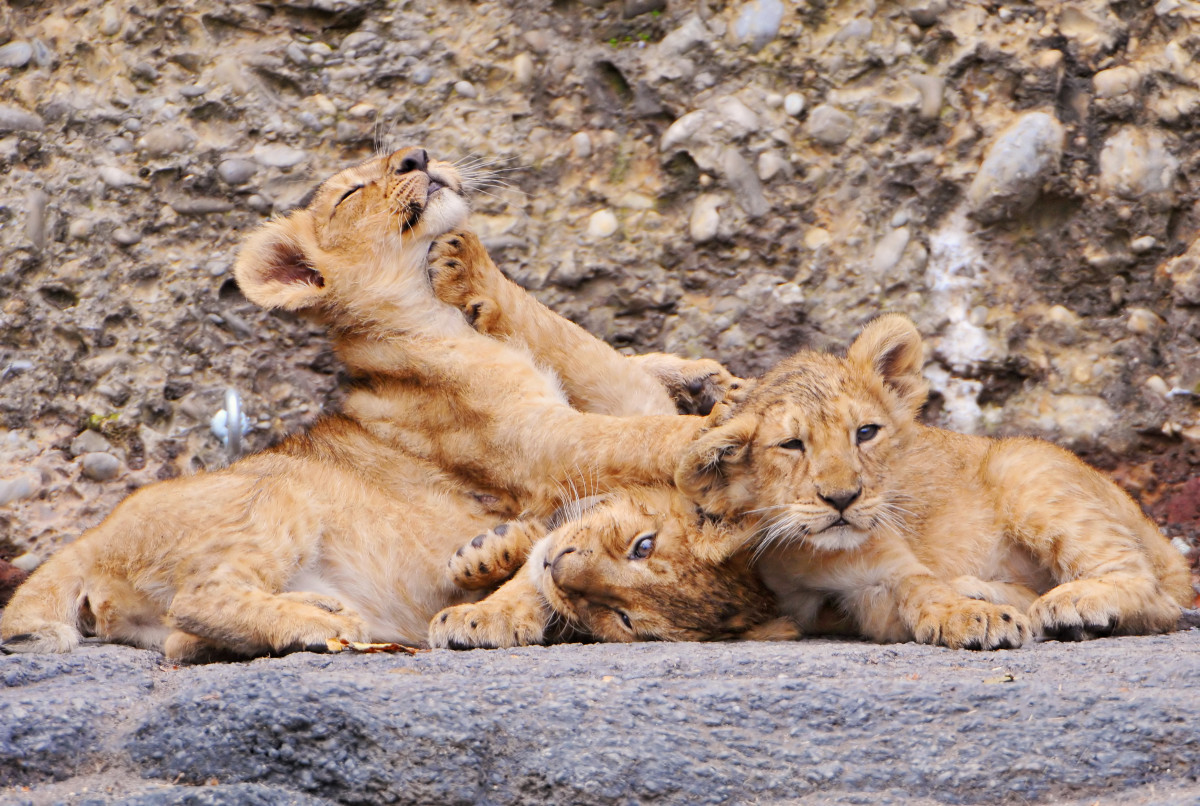 Three lion cubs playing at the Zürich Zoo
