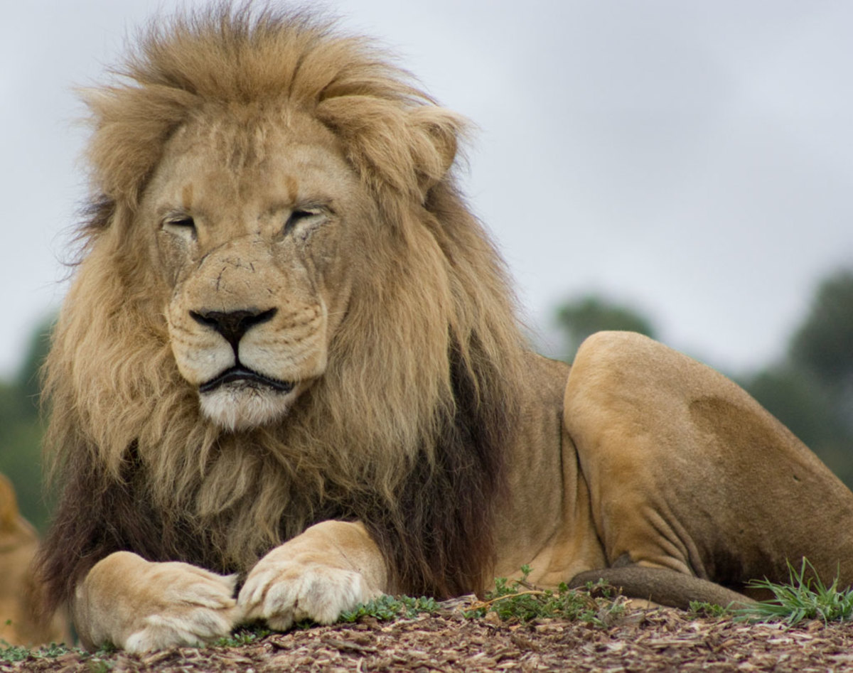 A lion resting at the Werribee Open Range Zoo in Australia
