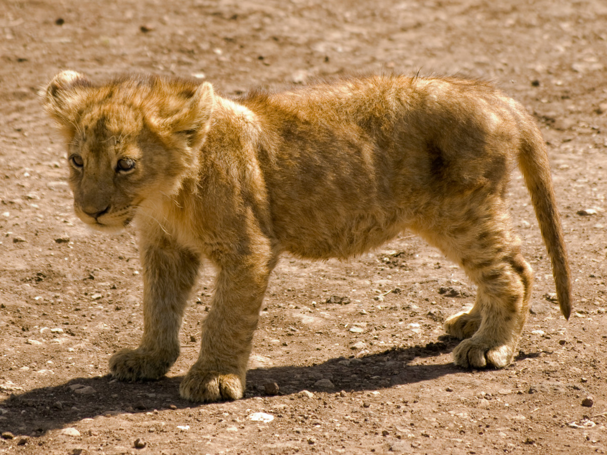 Lion cub standing on a dirt road in the Ngorongoro Crater, Tanzania