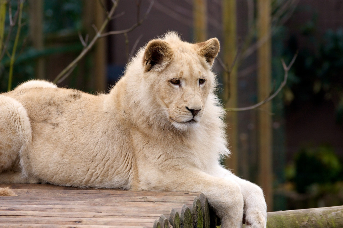 A white lion relaxing at the Paradise Wildlife Park in England