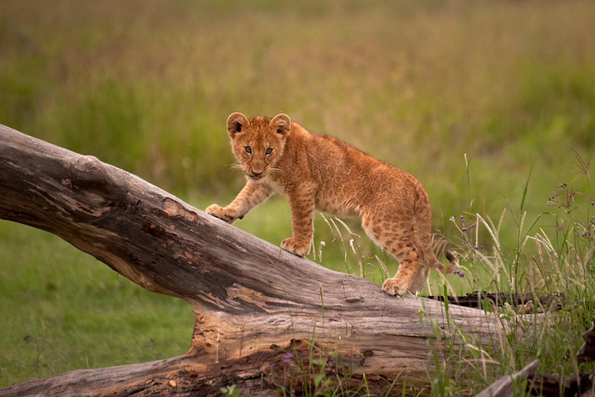 A lion cub in Tanzania