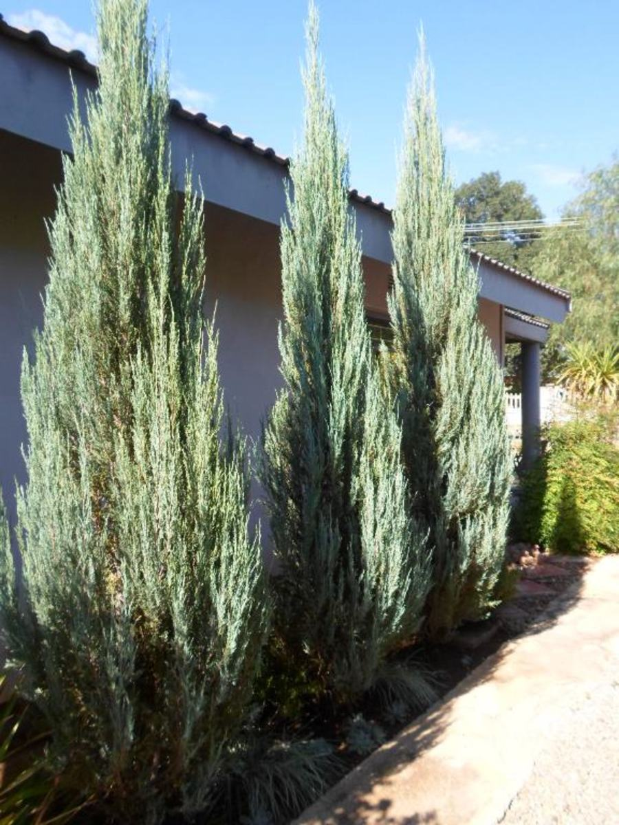 Juniperus virginiana 'Skyrocket' © Martie Coetser