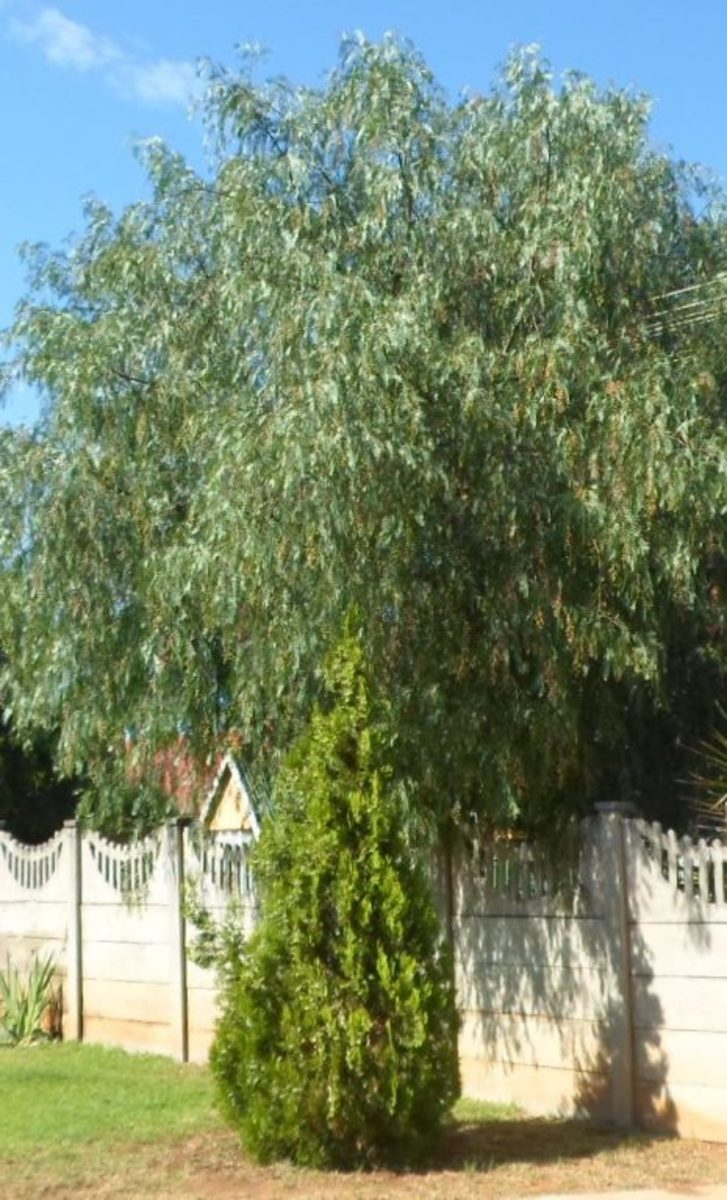 Thuja occidentalis with Pepper Tree at the back. Damage done to the lawn by termites clearly visible © Martie Coetser
