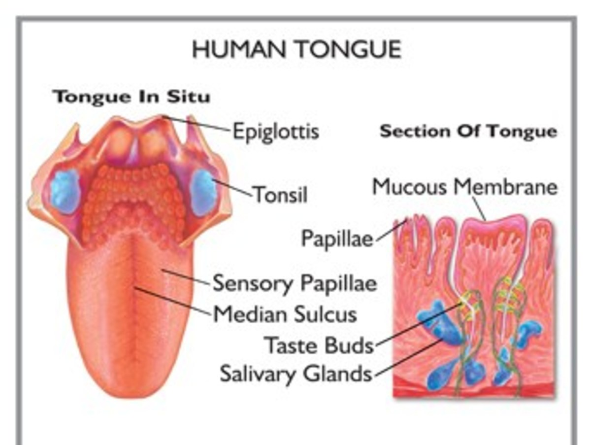 Layers of the Tongue showing the mucosa, the taste buds, the papillae and  the salivary glands.
