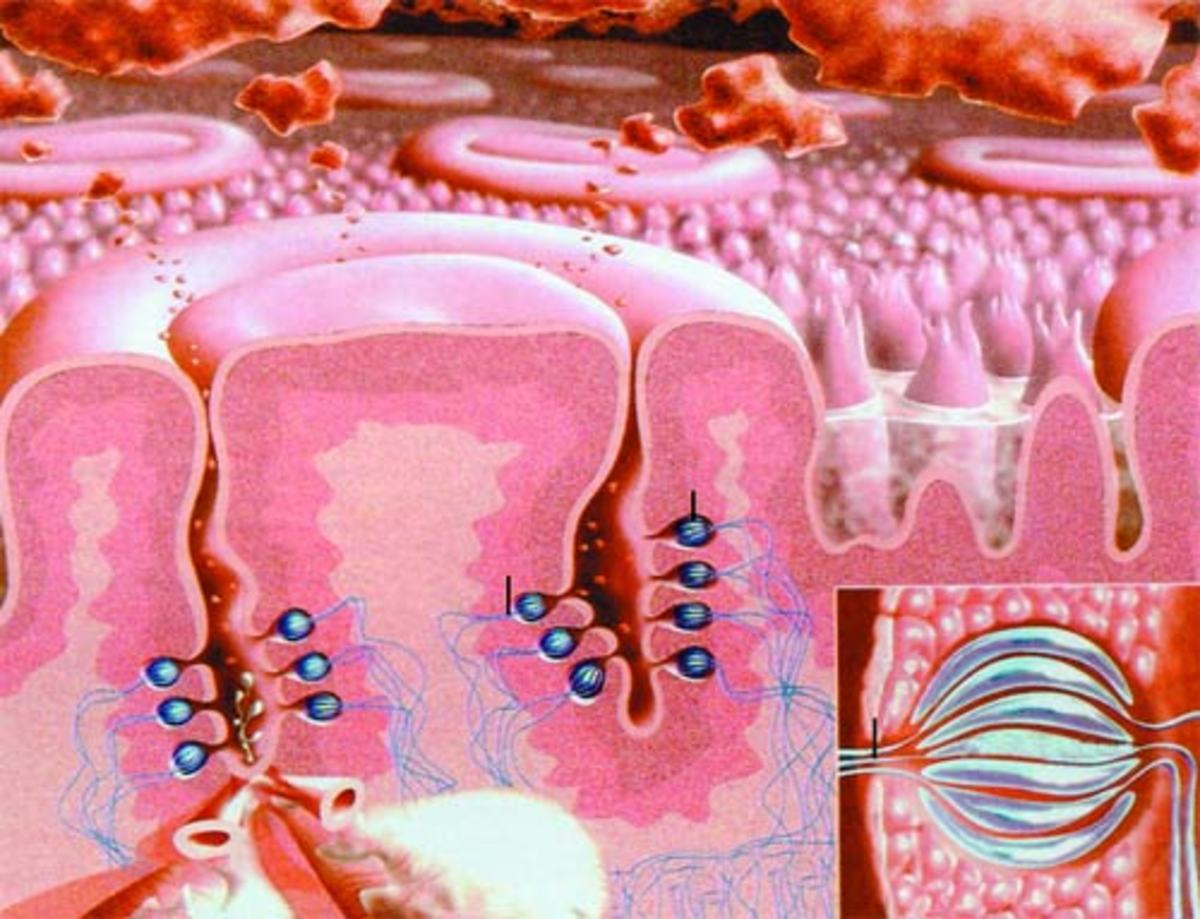 Details of the structure within the Circumvallate papillae. Microscopic look of a taste bud (inset).