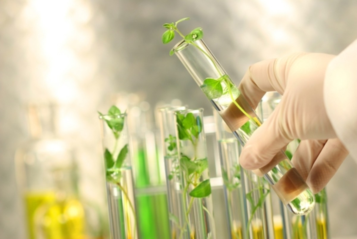 Altering DNA to create a GMO crop