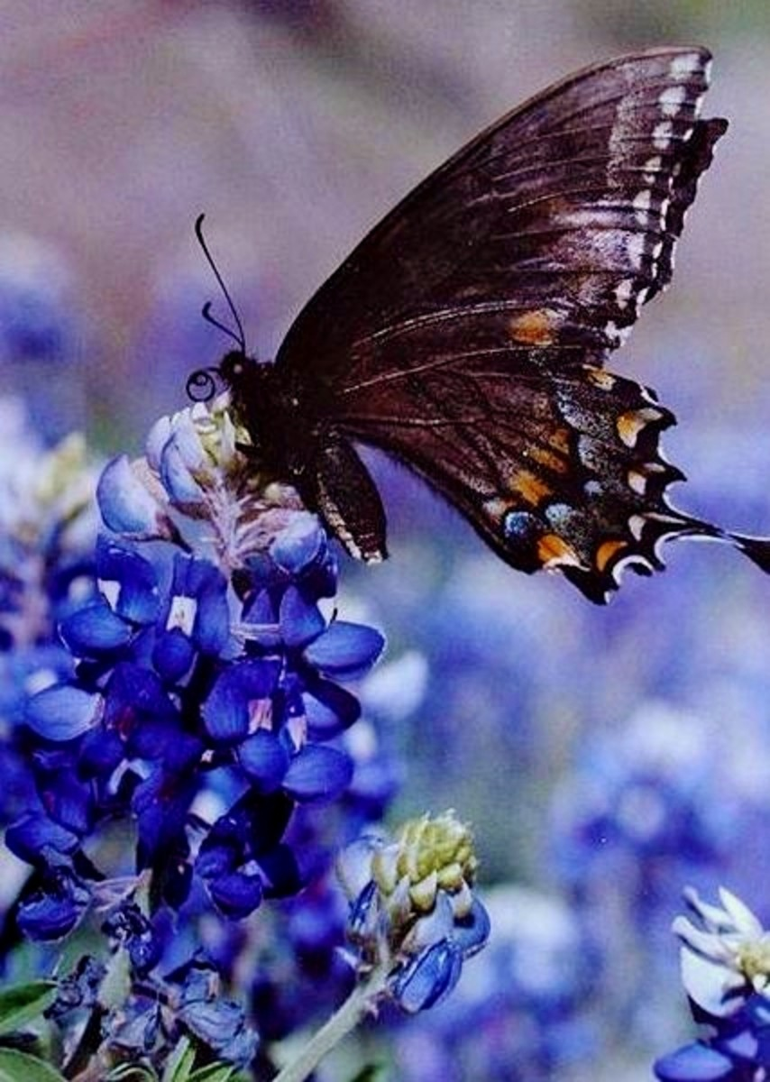 This is a female Papilio polyxenes, or Eastern Black Swallowtail Butterfly, enjoying nectar from a purple and white flowers.