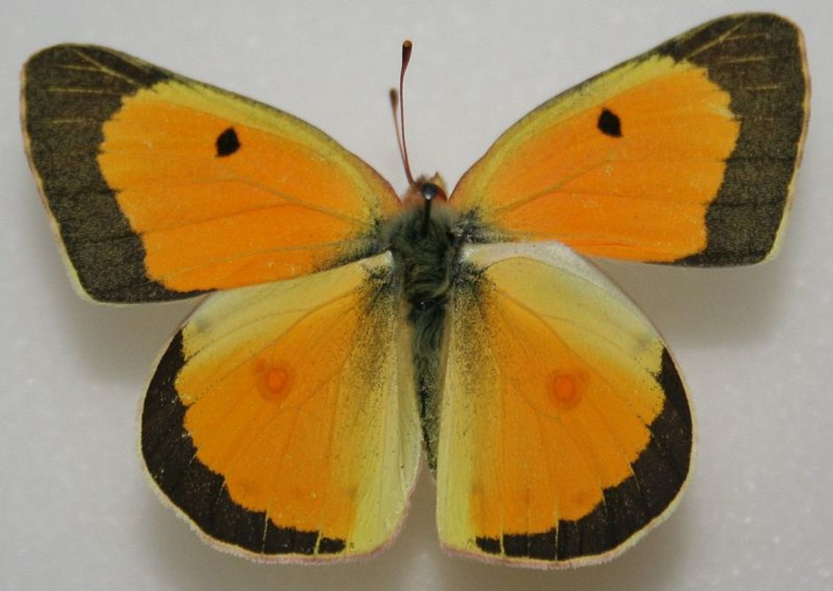 Colias eurytheme - Also known as the Orange Sulphur Butterfly.  These sometimes look just like the Clouded Sulphur butterflies, but the tips look to be more orange or copper colored than the Clouded Sulphurs look.
