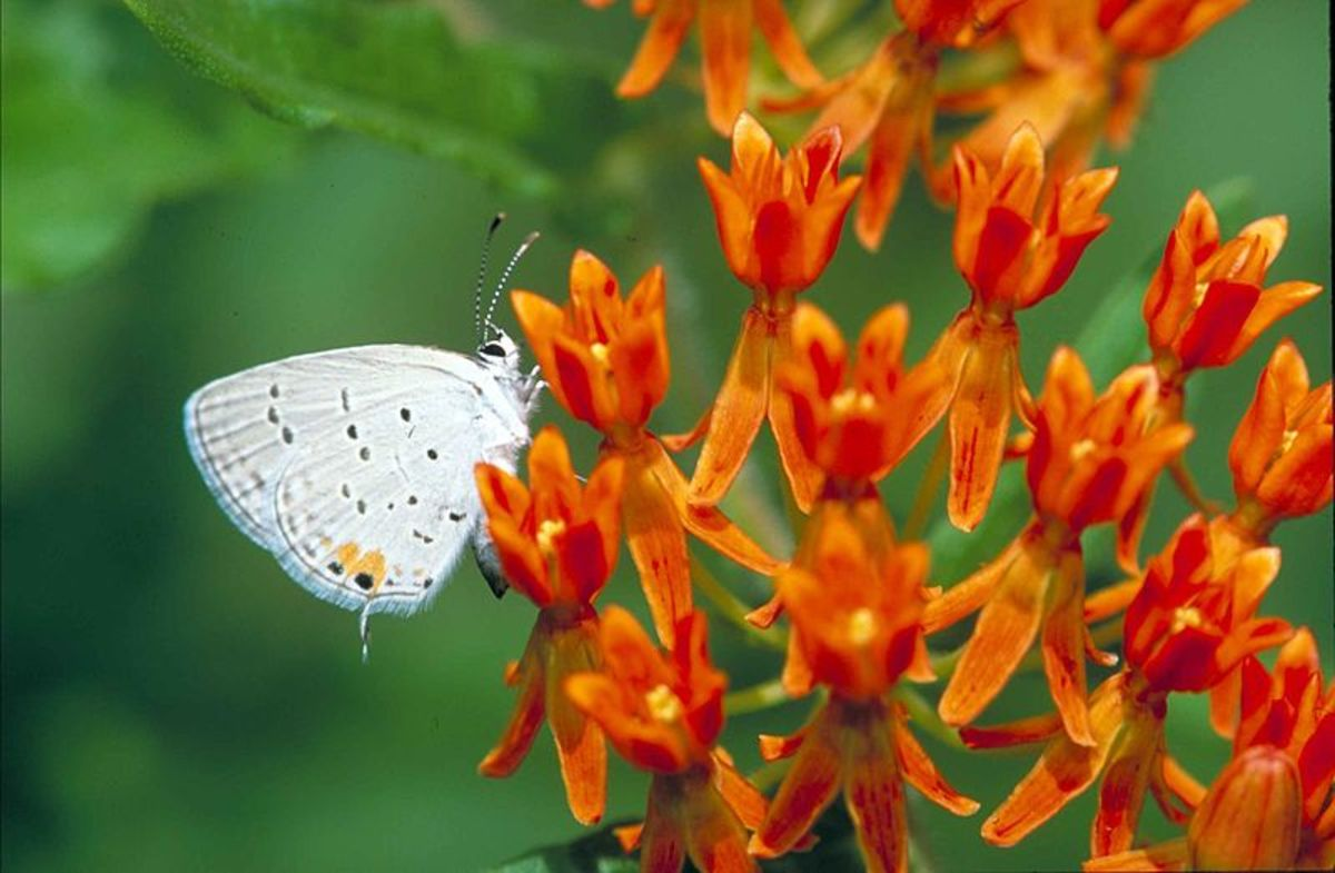 A lovely capture of an Eastern Tailed Blue, as they are so small and not always easy to see.  It is getting nectar from the butterfly weed, or blood weed flower.  Everes comyntas