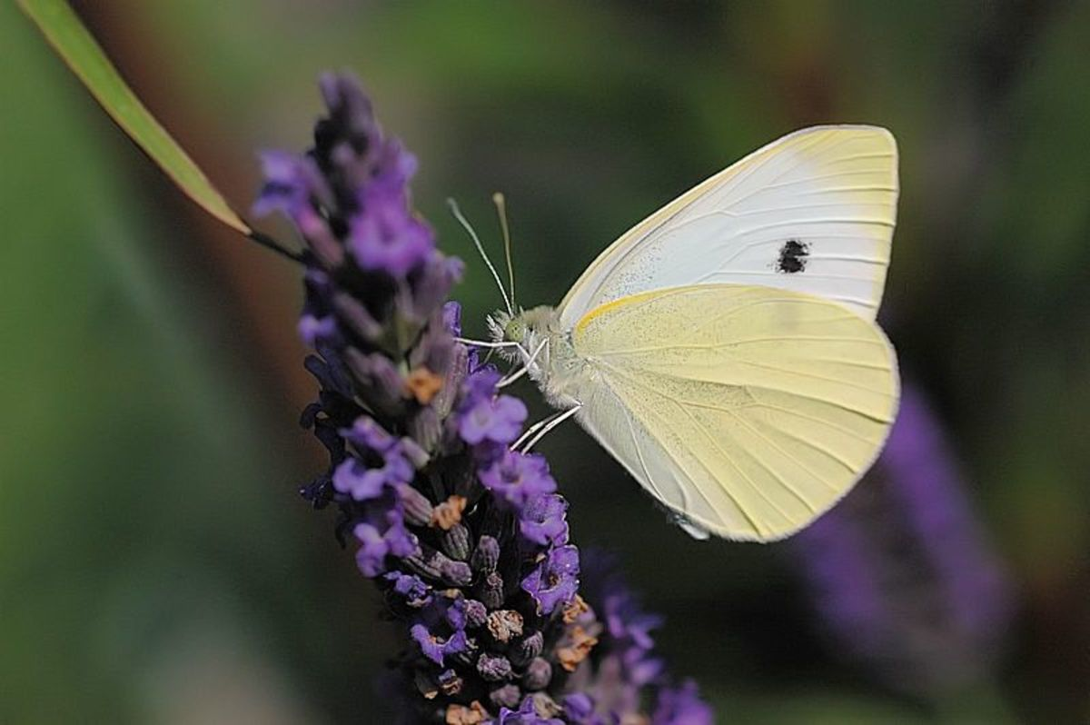 A lovely capture of a Cabbage White Butterfly or Pieris Rapae, on a purple flower.  It looks like it might be butterfly bush.  In the Public Domain