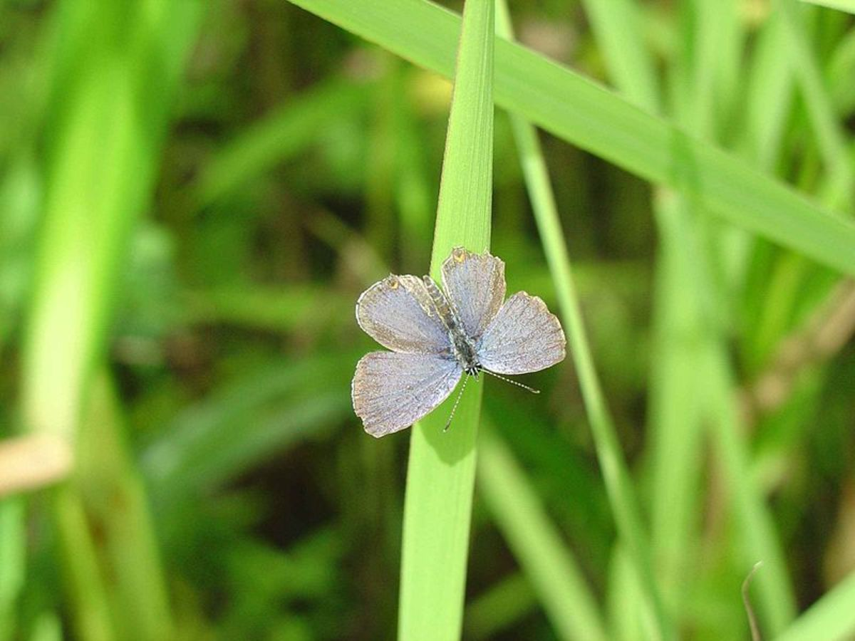 The Eastern Tailed blue butterfly with wins open so you can see more of the light blue color.  The Everes Comyntas is a  small and dainty butterfly.