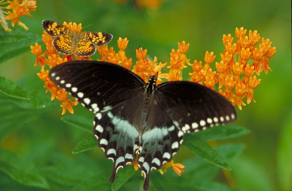 I love the large black and blue spicebush swallowtail butterfly here, but the little pearl crescent almost gets lost in the orange flowers.  Both are so beautiful to me!