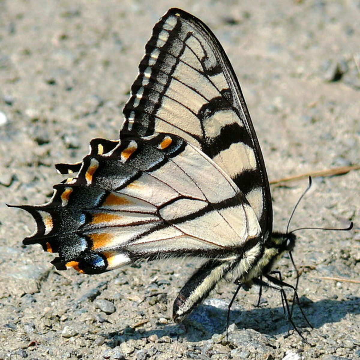I have seen the Eastern Tiger Swallowtail butterfly come to my garden for the nectar of purple phlox flowers.  They are so beautiful.