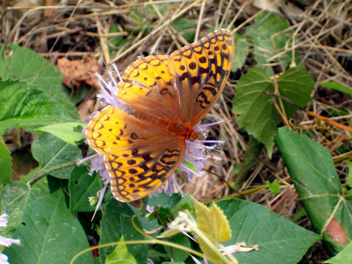 We were on a drive out in the country in Missouri, when I found this Great Spangled Frittilary Butterfly on a flower.  I think the are beautiful!