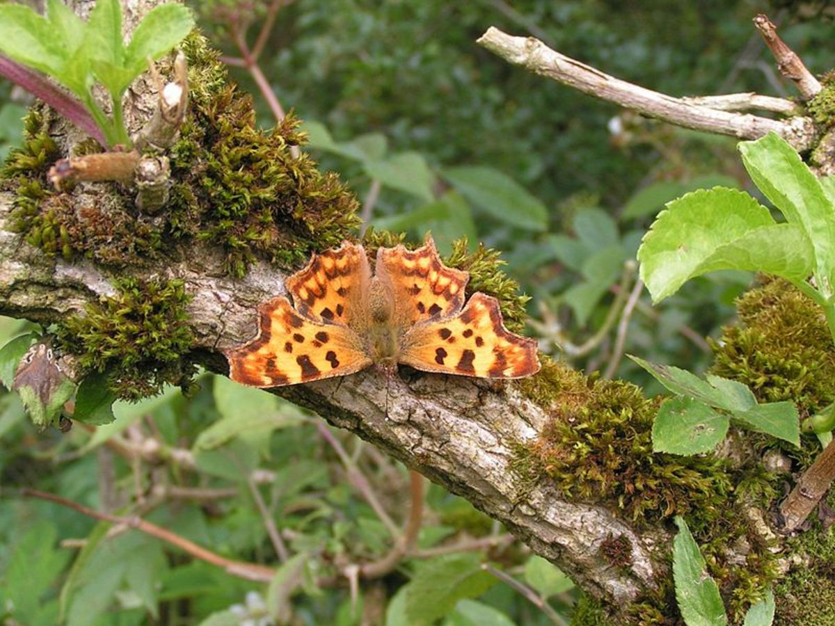 Photo of a Comma Butterfly, resting on a wooden branch.  In the Public Domain.