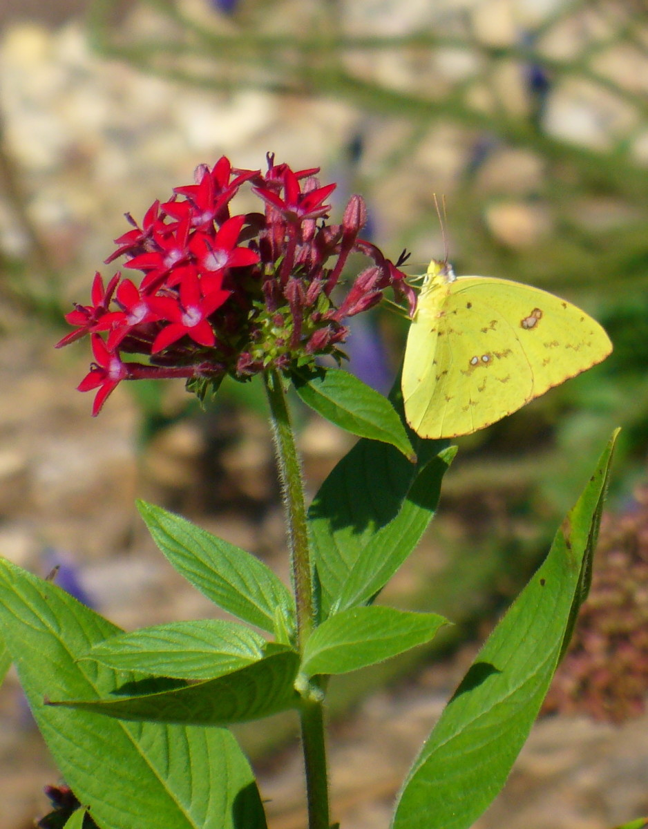 Taken in my butterfly garden, this is a Yellow Clouded Sulphur butterfly, enjoying nectar from red pentas flowers.  It is a great annual to grow for butterflies of all kinds. Colias euxanthe