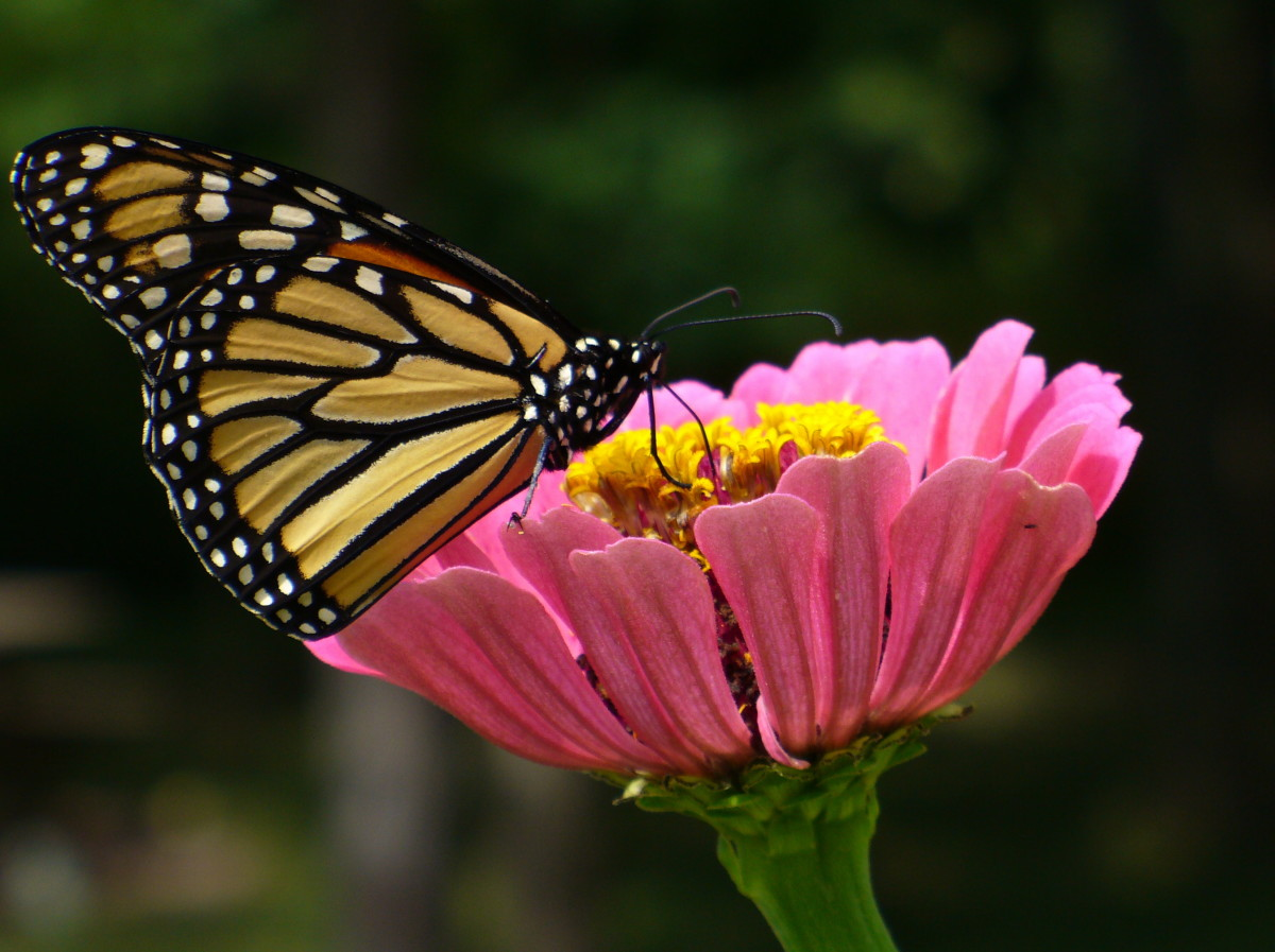 Monarch Butterfly on a Pink Zinnia grown from seed, drinking the nectar from it.  Photo taken in my backyard a few summers ago.  Danaus plexippus.