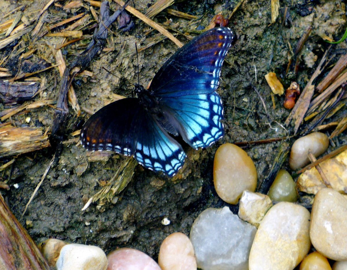 "This one, spent a lot of time on the wet dirt area, and was just beautiful to me!! Sometimes, butterflies need the salt and other things found in dirt or areas near ponds or lakes.  Often they will do something called ""puddling"" together. They absorb"