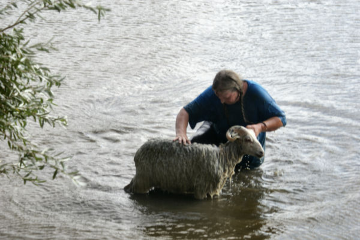 swimming-sheep