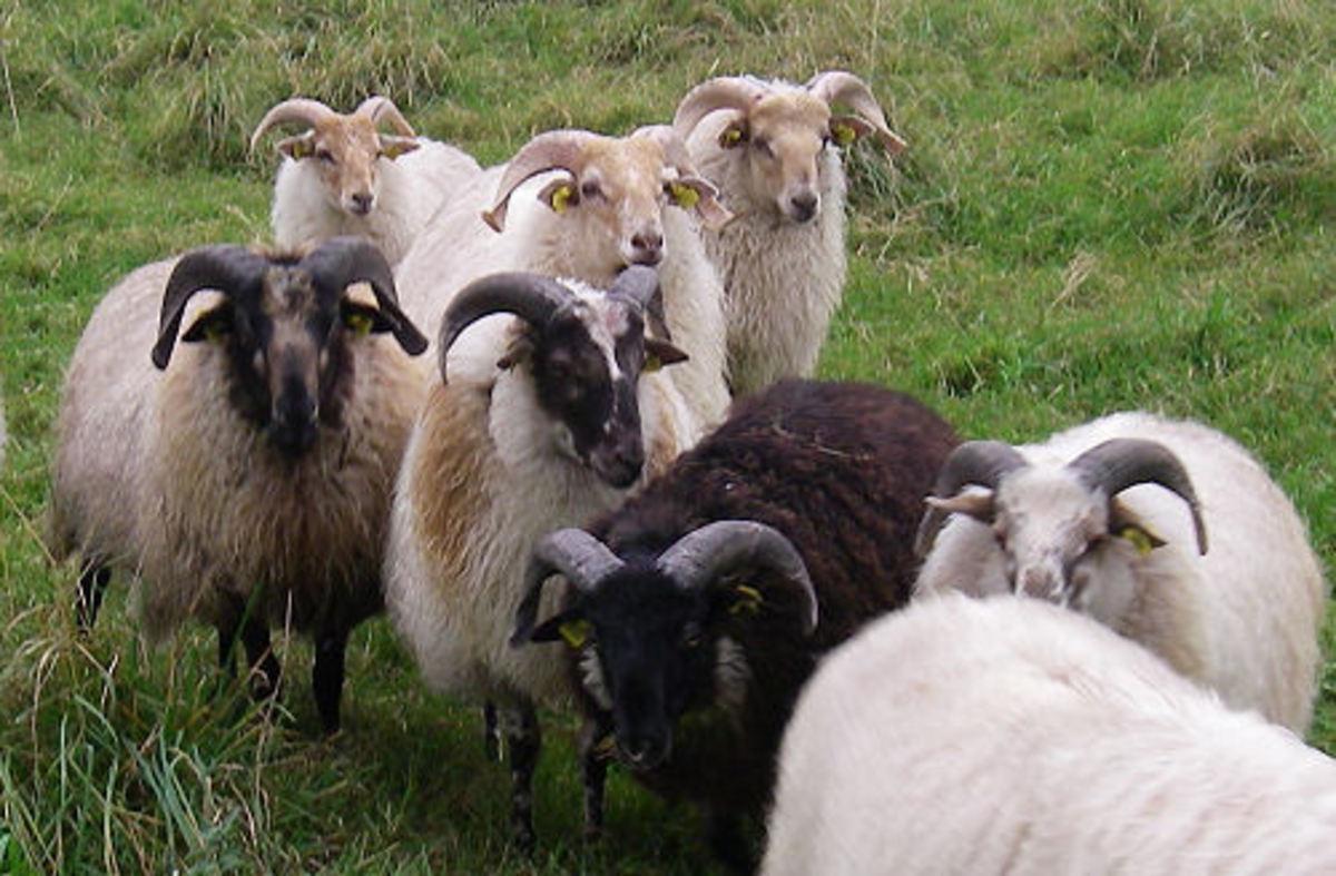 Young Sheep Rams