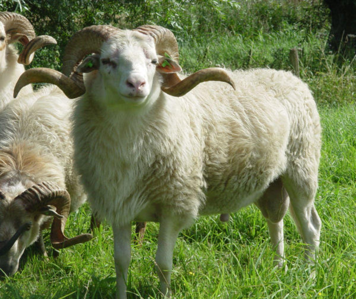 White Drenthe Heath Sheep Ram