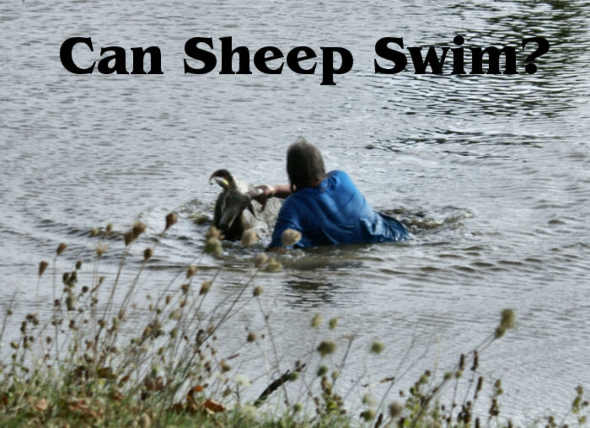 Have You Ever Seen a Sheep Jump into the Water?