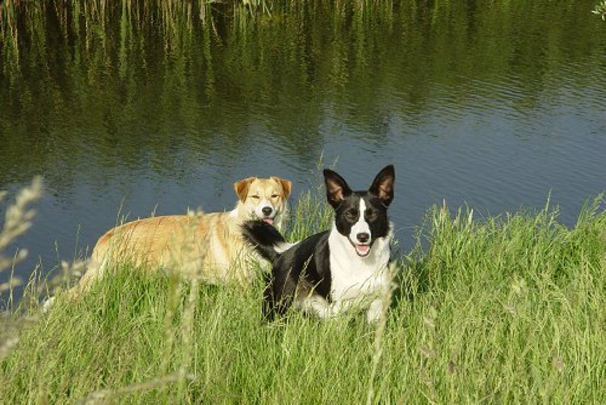 Border Collies Tipper and Dixie