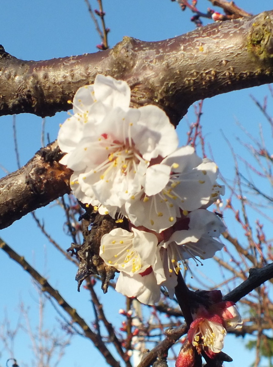 Delicate plum blossoms in spring