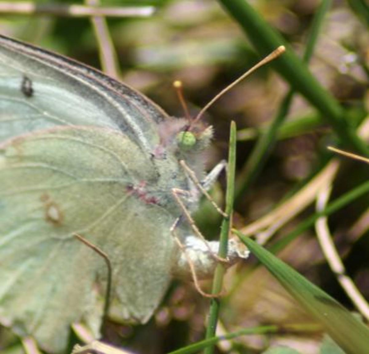 A female orange sulphur butterfly laying an egg.  An excellent capture by Megan McCarty.  Public domain.