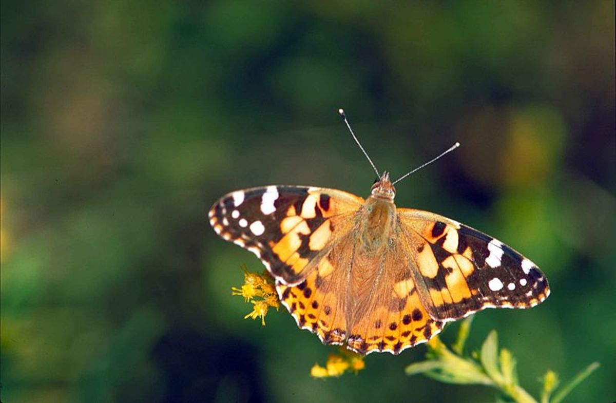 The top side of the wings of the painted lady butterfly.  Depending on how the butterfly is holding its wings, you will see different patterns.  They use each as needed.  Sometimes to attract a mate, and the other for camouflage for protection.