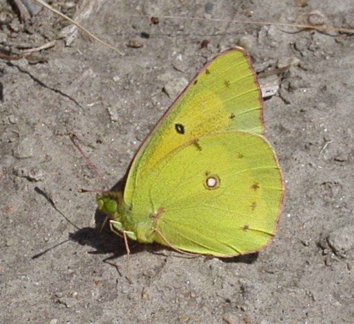 Orange Sullphur Butterfly - Colias Eurytheme.
