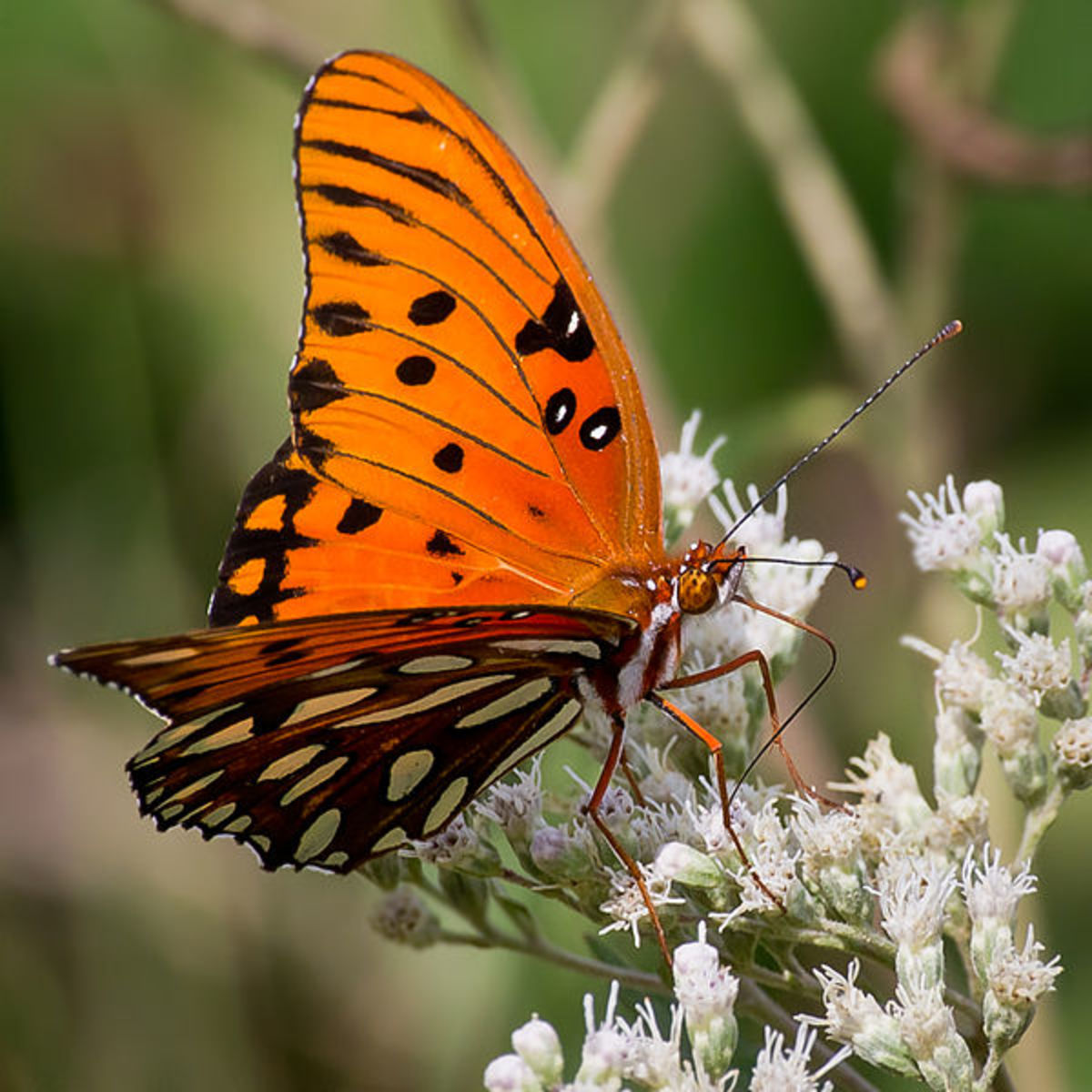 Orange Gulf Fritillary Butterfly on white flowers.  Sometimes referred to as a Passion Butterfly.