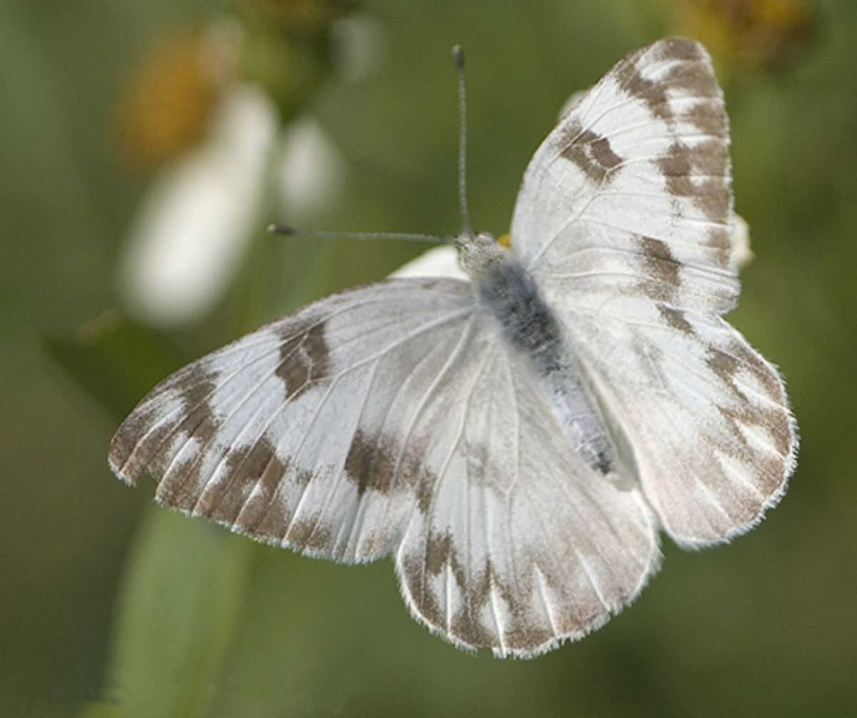 Checkered White - Pontia Protodice  Butterfly.  http://en.wikipedia.org/wiki/User:Magnus_Manske