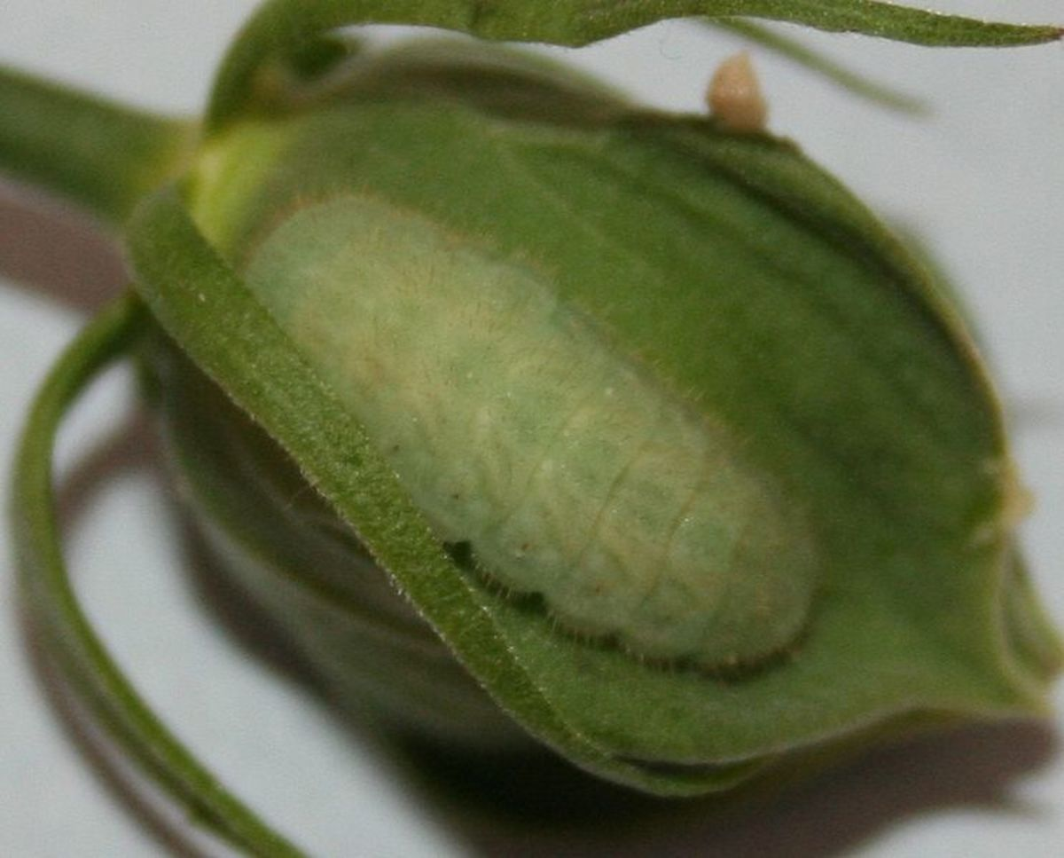 Larvae of Gray Hairstreak or Strymon Melinus butterfly.