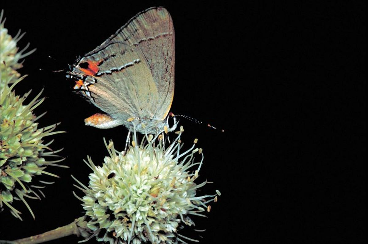 A beautiful butterfly, but they are tiny.  This Gray hairstreak, or strymon melinus, is on rattlesnake. master plant. If you get the opportunity, these are particularly fascinating to observe up close.