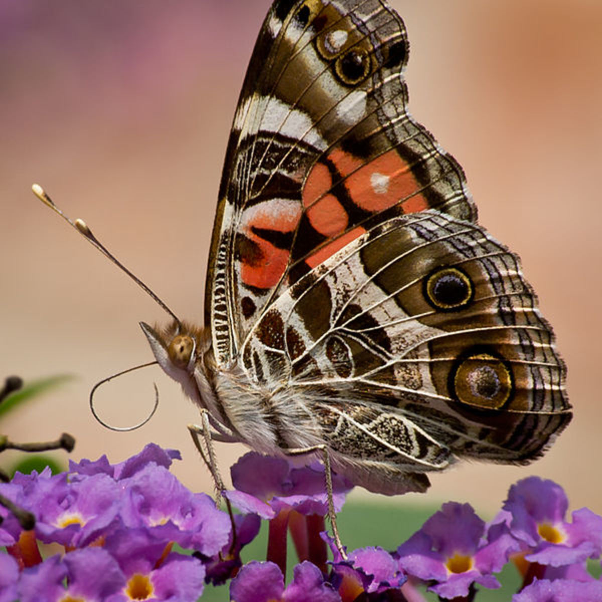 A gorgeous capture of the Painted Lady Butterfly on a purple flower.  Public Domain. I believe this is either lantana flowers, or butterfly bush.  Both attract butterflies.
