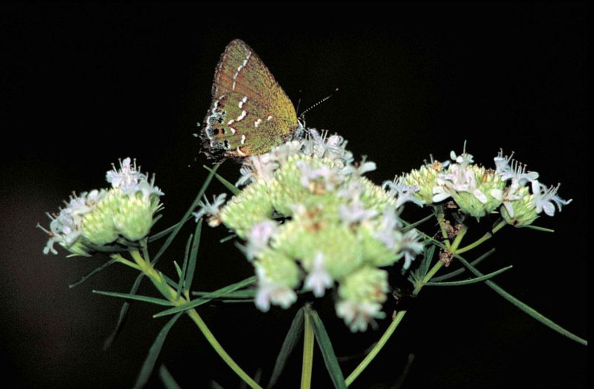 Gray Hairstreak butterfly on flower.  Strymon Melinus picture, public domain.