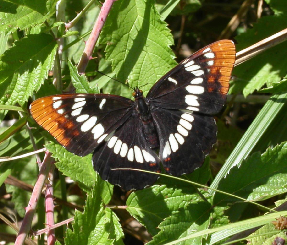 Photo taken at Lodi Lake in Lodi, California. Lorquin's Admiral Butterfly,