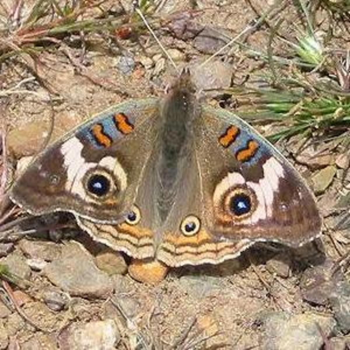 The common buckeye is a beautiful butterfly with interesting markings as seen in this picture.