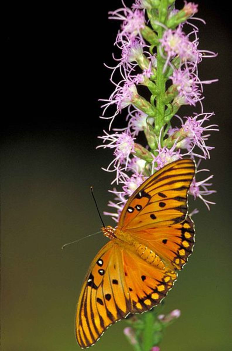 Beautiful orange Gulf Fritillary Butterfly on purple flowers.  Sometimes referred to as Passion Butterfly.