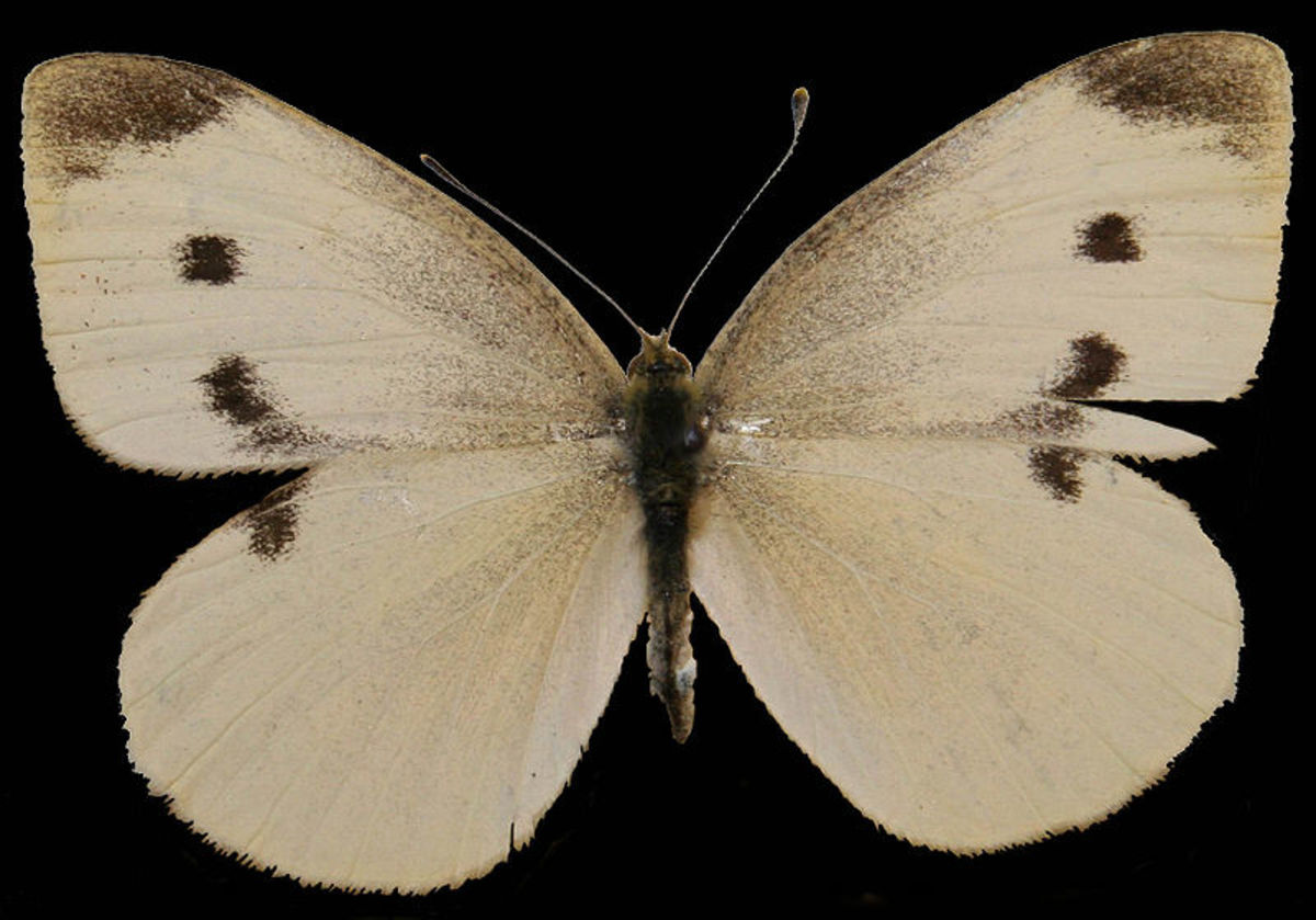 This is a female cabbage white butterfly.