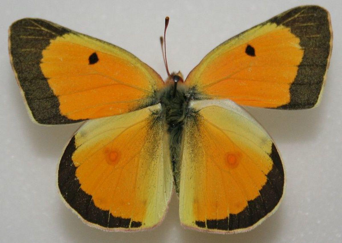 Male Orange Sulphur Butterfly