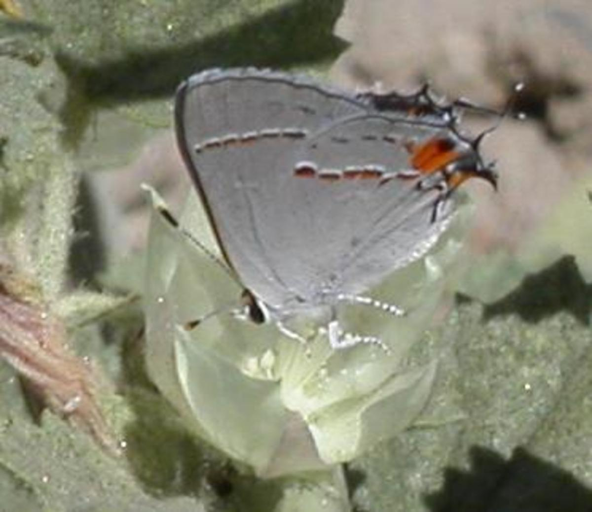This particular picture was taken near Lodi Califoria.  Gray Hair Streak, or Strymon Melinus butterfly photo.