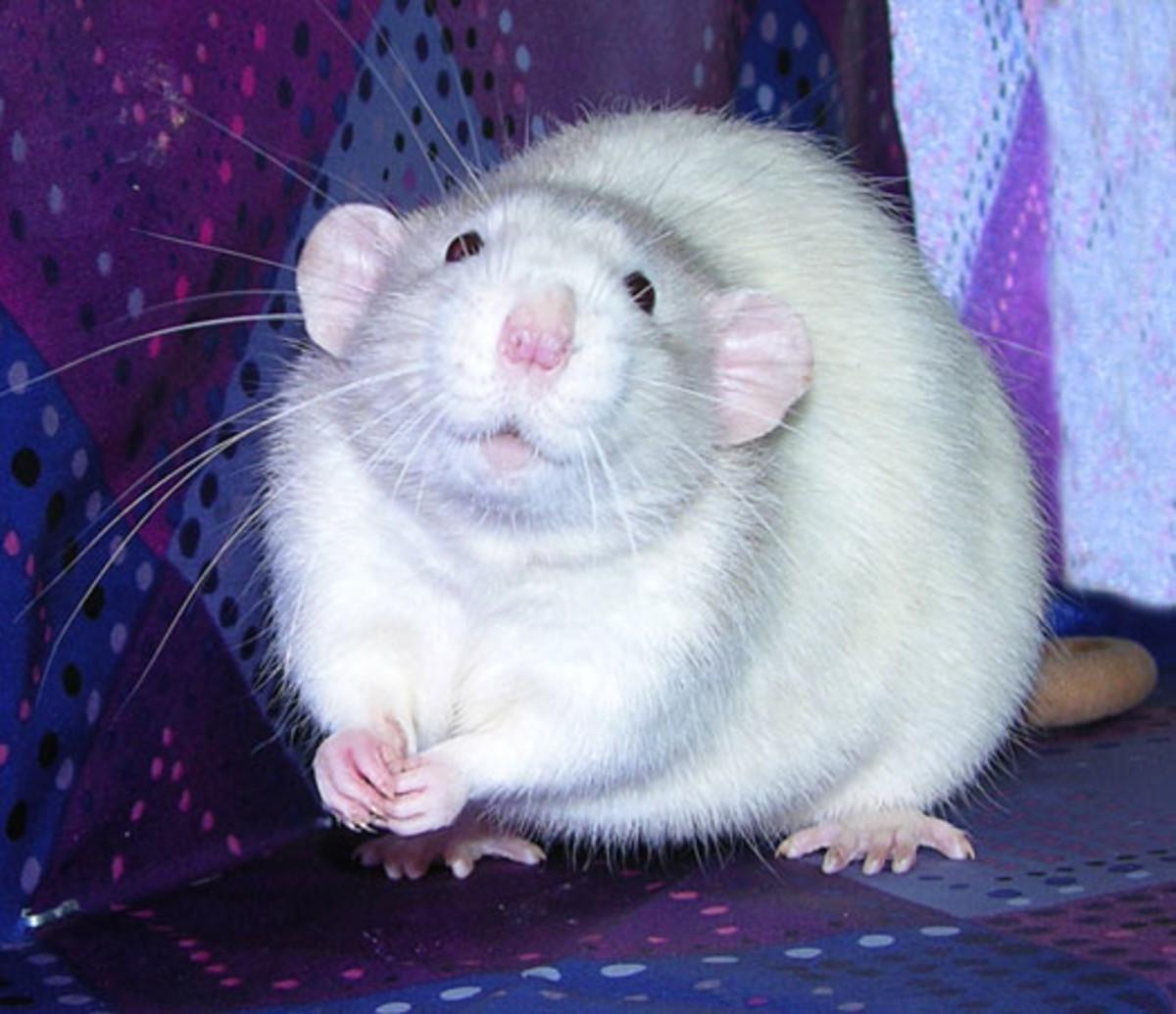 Jumbo Rat