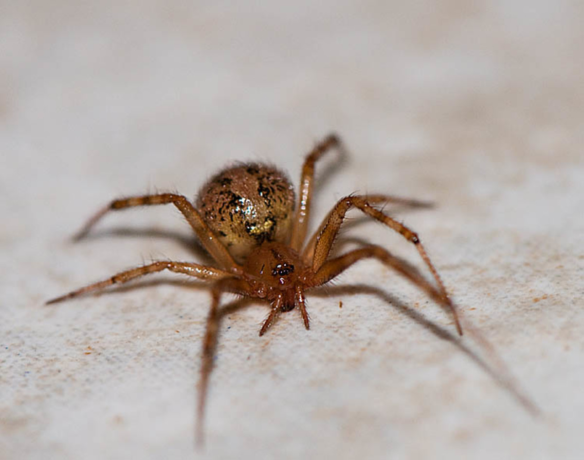 Button Spider