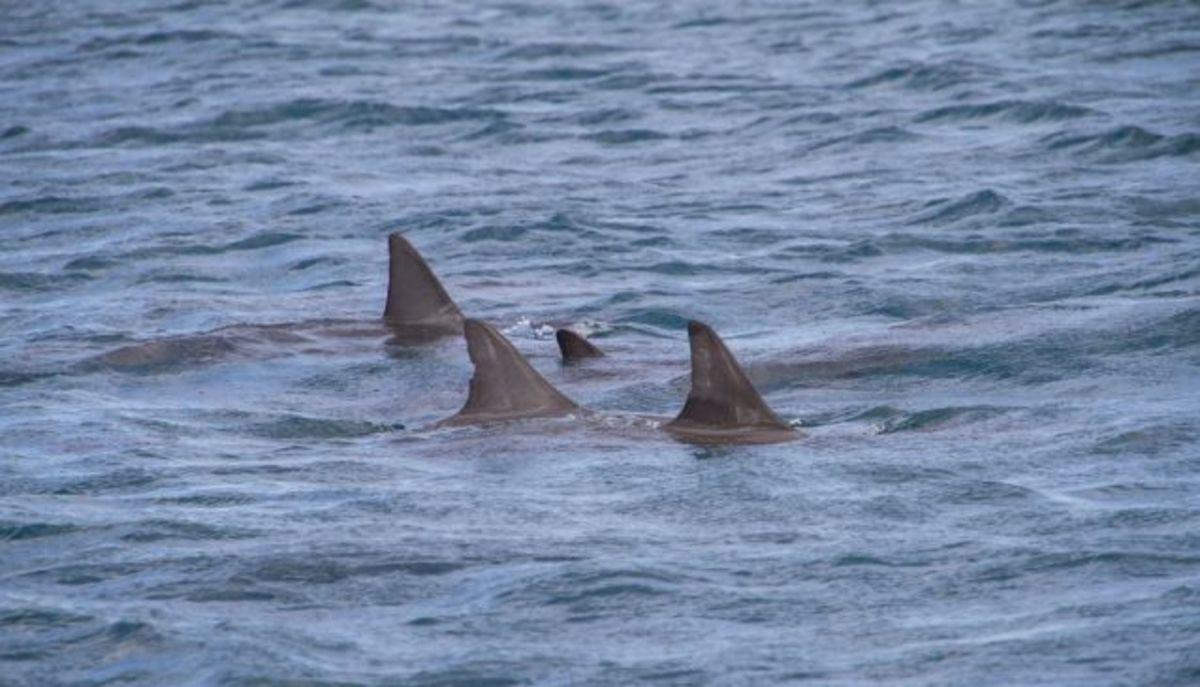 Tiger Sharks In Cape Verde