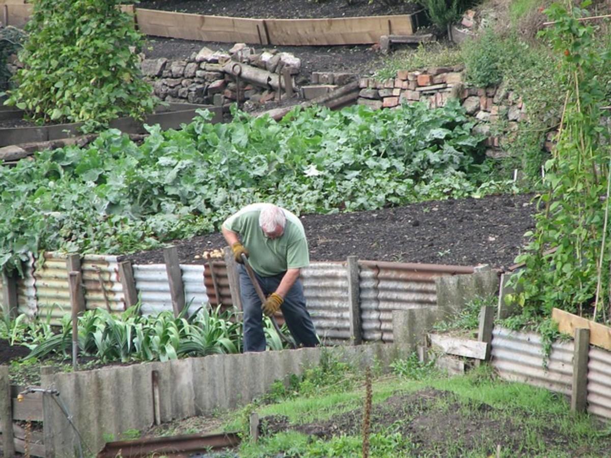 A gentleman is hard at work working his garden.
